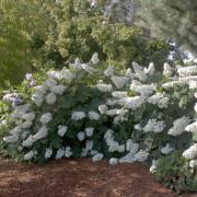 hydrangea care, hydrangea color, growing hydrangas