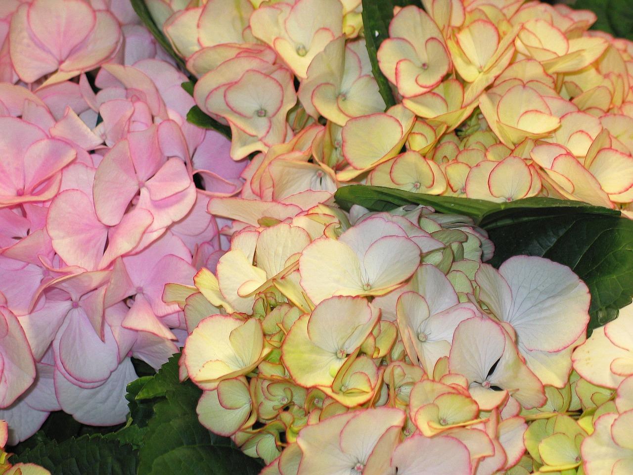 Tried And True The Best Way To Plant Hydrangeas Espoma