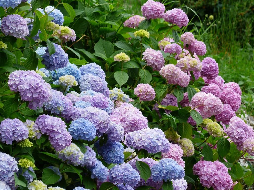 tried and true the best way to plant hydrangeas  espoma, Beautiful flower