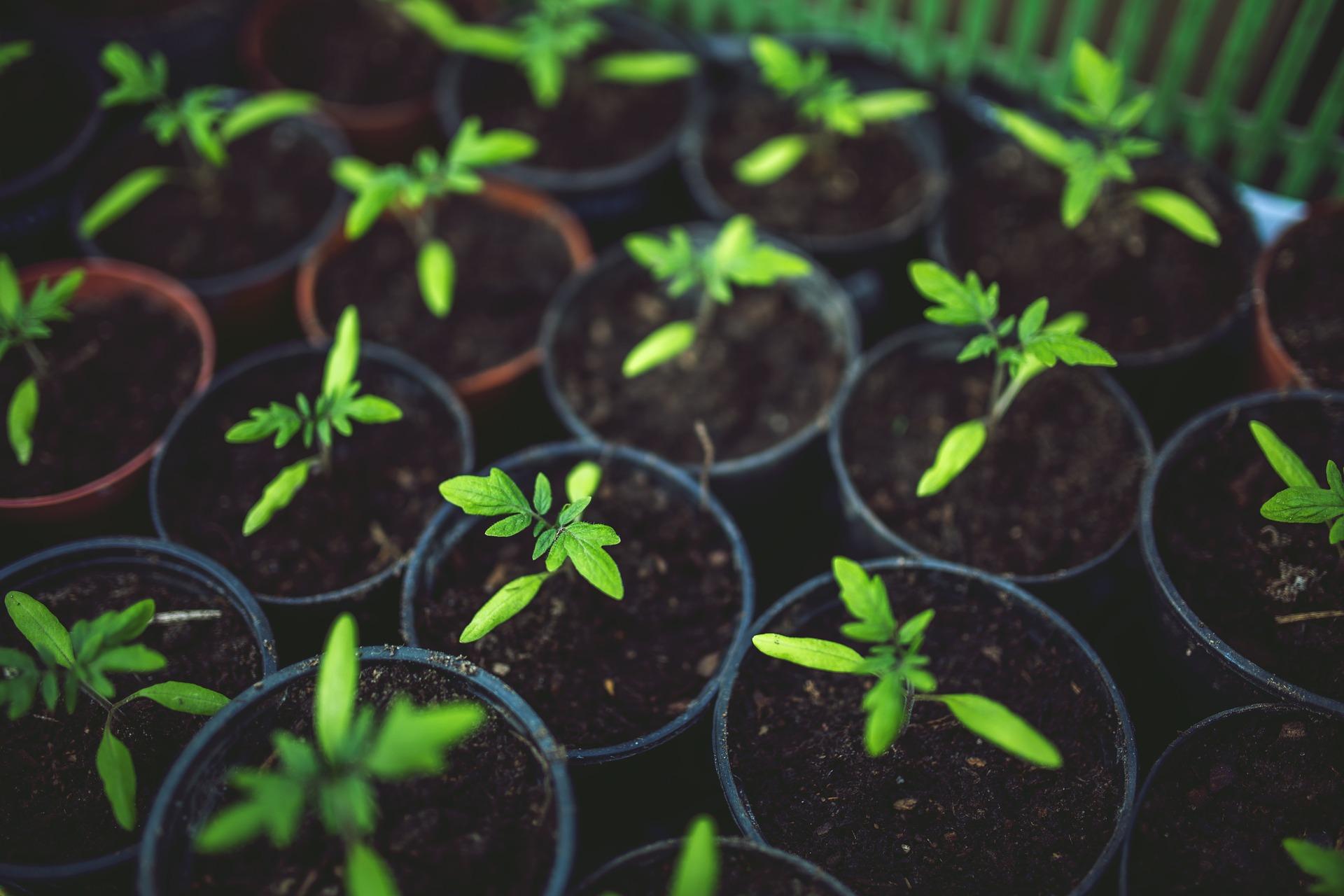 tomato-tone, growing tomatoes, organic gardening